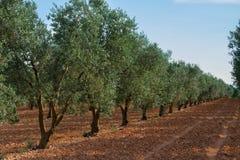 Строки оливкового дерева, Франция стоковая фотография rf
