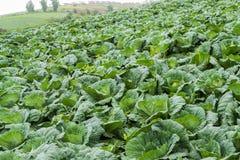 Строки свежих заводов капусты на поле перед сбором стоковое фото rf