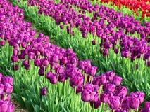 Строки фиолетовых тюльпанов в поле Стоковая Фотография