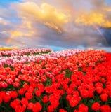 Строки цветков тюльпана стоковое изображение rf