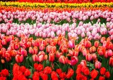 Строки цветков тюльпана Стоковое Изображение