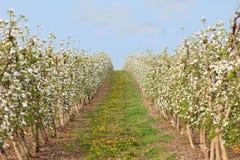 Строки яблонь с цветением в саде стоковые фотографии rf