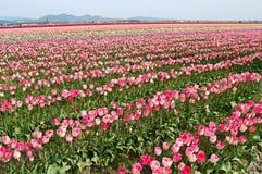 Строки ярких покрашенных тюльпанов в цветени Стоковые Фотографии RF