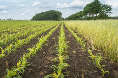 Строки mais silage и поле окаймляются с полевыми цветками Стоковая Фотография