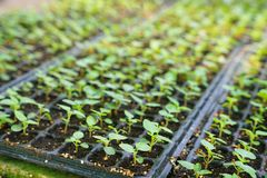 Строки vegetable саженца в пластичном подносе саженца стоковое изображение rf