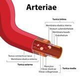Структура артерии иллюстрация вектора