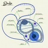 Структура Бодо Стоковая Фотография RF