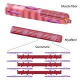 Структура волокна скелетной мышцы иллюстрация вектора