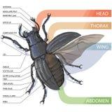 Структура жука Диаграмма вектора Стоковая Фотография RF