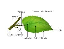 Структура листьев Стоковые Фото