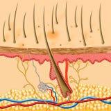 структура кожи человека внутренняя Стоковое Изображение