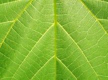 структура листьев виноградины Стоковая Фотография