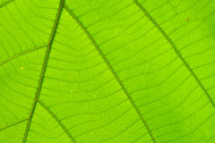 Структура предпосылки лист естественной Стоковые Фотографии RF