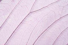 структура скелета листьев Стоковые Фотографии RF