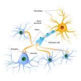 Структура типичного химического синапса Стоковое Фото