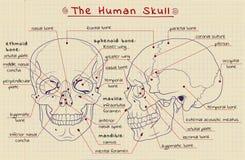 Структура черепа Стоковые Фотографии RF