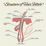 Структура человеческих волос Стоковая Фотография
