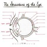 Структура человеческого глаза Стоковое Изображение