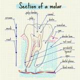 Структура человеческого зуба Стоковое Изображение