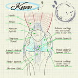 Структура человеческого колена Стоковые Фото