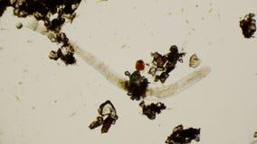 Струнец под микроскопом в 4k видеоматериал