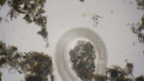Струнец под микроскопом в 4k сток-видео