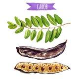 Стручки дерева Carob и листья, иллюстрация акварели Стоковое Изображение RF