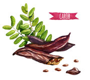 Стручки дерева Carob, семена и листья, иллюстрация акварели Стоковая Фотография RF