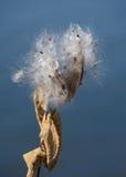Стручки и семена milkweed осени Стоковые Фото