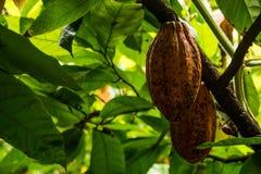 Стручки какао на дереве Стоковые Фото