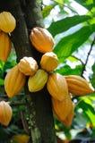 стручки какао Стоковая Фотография
