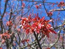 Стручки клена весной Стоковые Фото