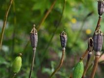 Стручки макового семенени - cambrica Meconopsis Стоковое фото RF