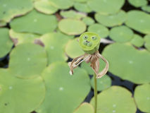 Стручки лотоса плодоовощ лотоса Стоковая Фотография RF