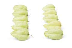 Стручки семени Œtree ¼ paniculataï Koelreuteria Стоковые Изображения RF