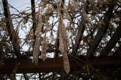 Стручки семени глицинии вися от шпалеры стоковые фото
