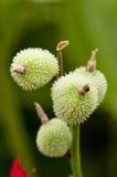 Стручки семени Canna Стоковое Изображение RF