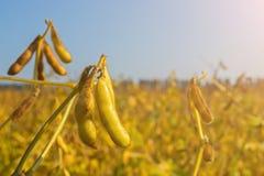 Стручки genetically доработанной сои во время зрея периода в поле стоковые изображения rf