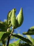 стручки milkweed Стоковое Изображение RF