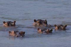 Стручок бегемота в Реке Замбези Стоковые Изображения RF