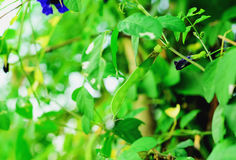стручок гороха бабочки Стоковая Фотография RF