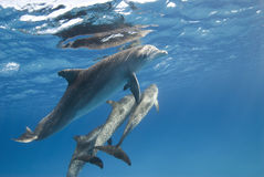 стручок дельфина стоковые фотографии rf