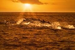 Стручок дельфинов путешествуя в океане стоковое изображение rf