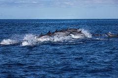 Стручок дельфинов путешествуя в океане стоковые изображения rf
