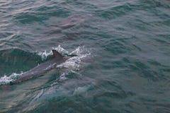 Стручок дельфина Стоковые Фото