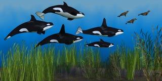 Стручок дельфин-касатки Стоковое Изображение RF