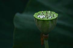Стручок лотоса с водой Стоковая Фотография