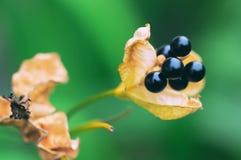 Стручок семени лилии леопарда стоковая фотография rf