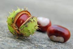 Стручок семени плода конского каштана осени Стоковые Изображения