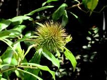 Стручок семени Allamanda Стоковые Фотографии RF
